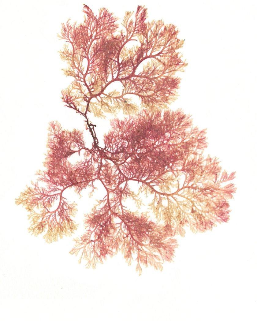 Christina-Riley-Pink-Seaweed-Skye